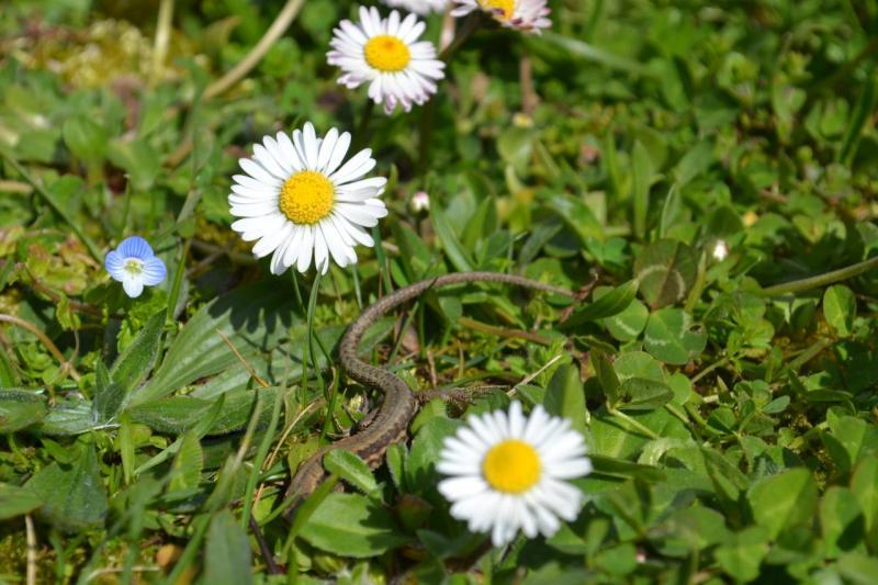 Lézard dans l'herbe